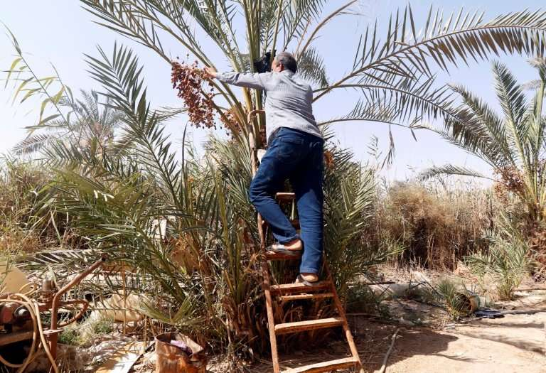Iraq's date palms are under threat from conflict and drought