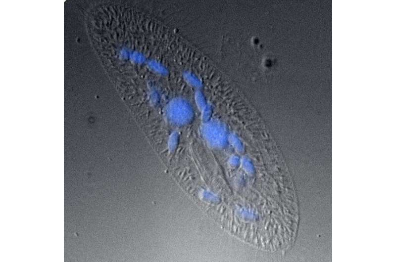 Jumping genes work together to control programmed deletion in the genome