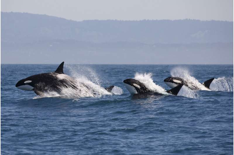 Killer whales: why more than half world's orcas are threatened by leftover industrial chemicals