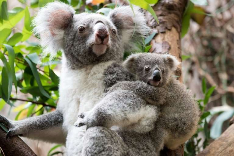Koalas are effectively extinct in parts of Australia