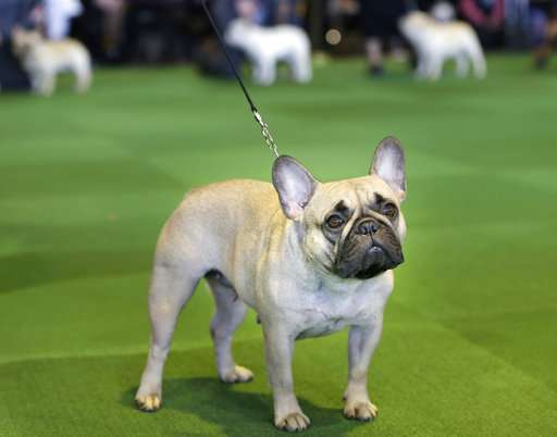 Labs still lead but French bulldogs leap in popularity in US
