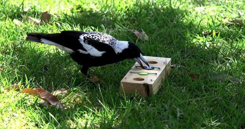 Large-group living boosts magpie intelligence