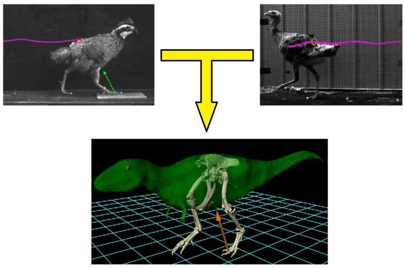 Locomotion of bipedal dinosaurs might be predicted from that of ground-running birds