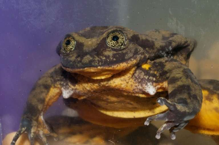 Looking for love: Romeo the Sehuencas water frog needs to find a Juliet to save his species