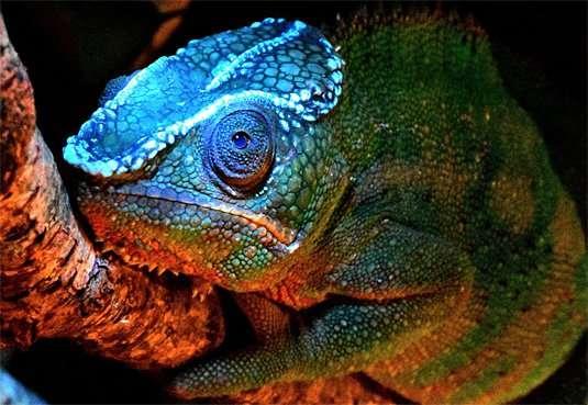 Luminescent lizards