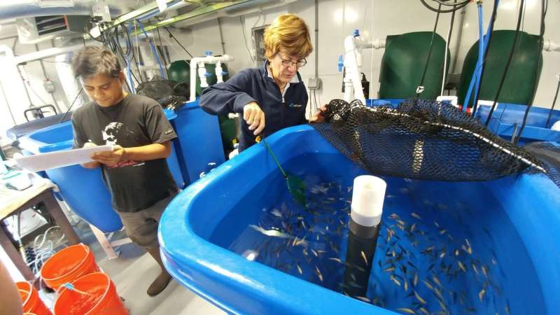 Making aquafeed more sustainable: Scientists develop feeds using a marine microalga co-product