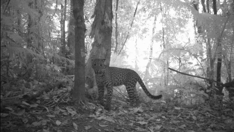 Map of Javan leopard distribution provides guidance for conservation efforts