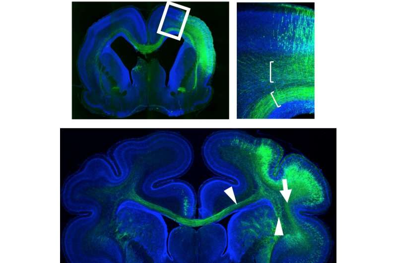 Map of neuronal pathways of the mammalian cerebral cortex and their evolution
