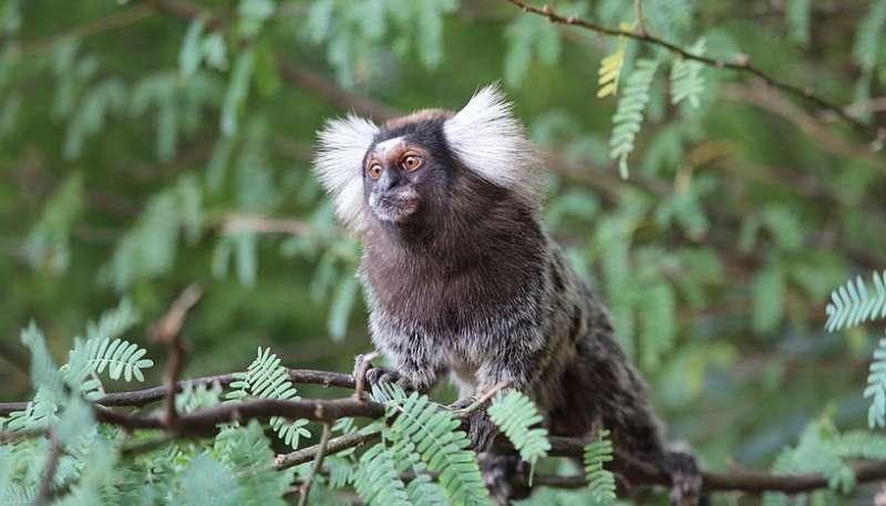 Marmoset monkeys expect the melody's closing tone