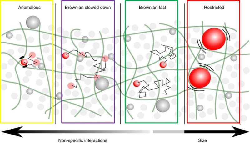 Maze runners and square dancers: cytosolic diffusion of nanosized objects in mammalian cells –