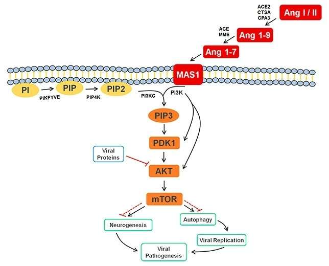 Metabolic pathway involved in immune response to Zika also participates in neurogenesis
