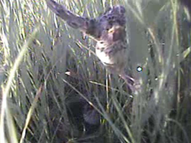 Mini video cameras offer peek at hard-to-observe bird behavior