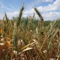Modern science shows Roman wheat farming advice was highly accurate