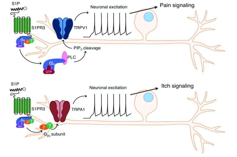 Molecular switch triggers itch