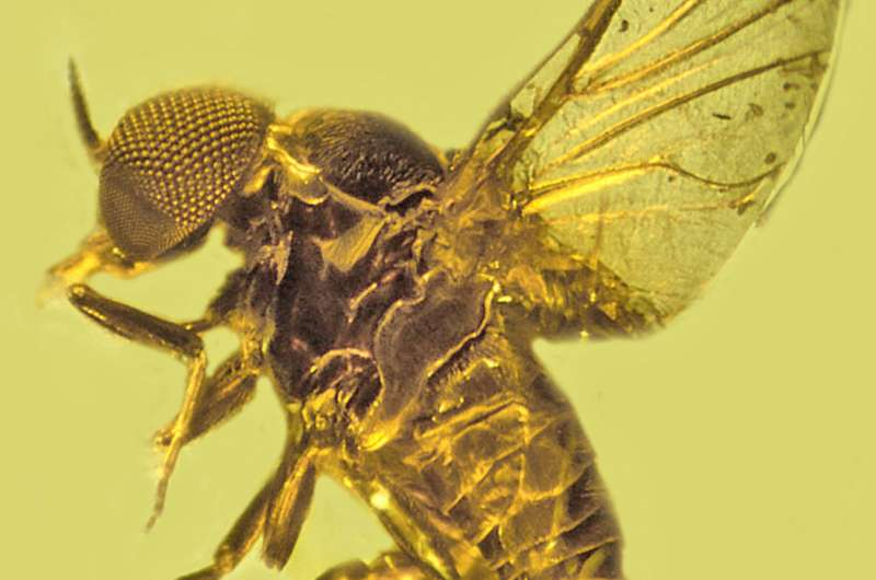 Mosquitoes, other blood-sucking flies have been spreading malaria for up to 100 million years