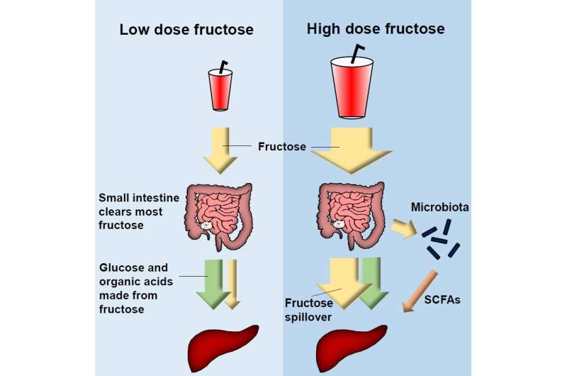 Mouse study reveals what happens in the gut after too much fructose