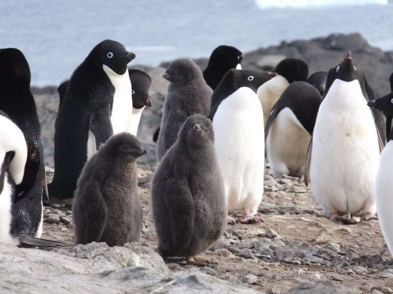 Mummified penguins tell of past and future deadly weather