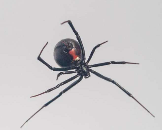 Mystery of how black widow spiders create steel-strength silk webs further unravelled
