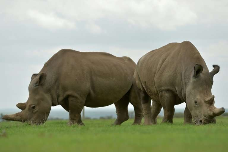 Najin (L) and Fatu are the only two northern white rhino known to be alive today - both are infertile females