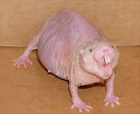 naked mole-rat