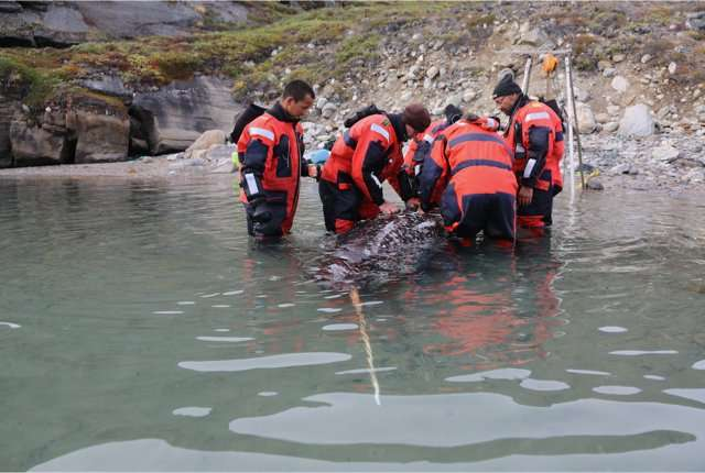 Narwhals' acoustic behavior described using audio tagging