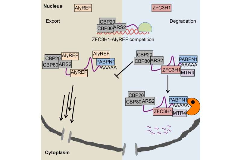 New nuclear RNA retention activity discovered