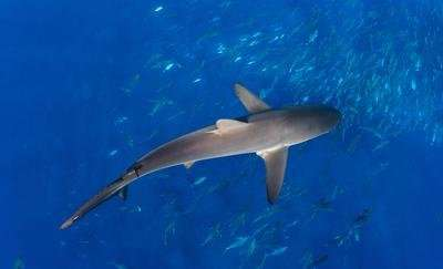 New shark species could be swimming toward UK as seas warm