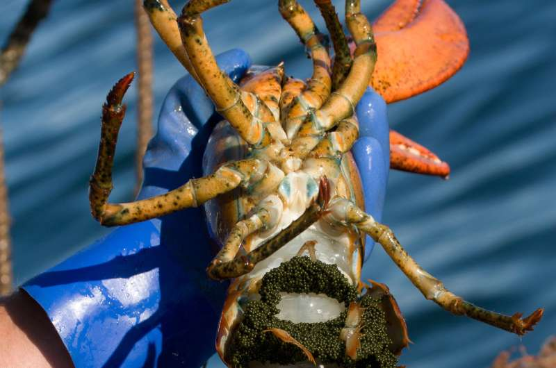 New study: Industry conservation ethic proves critical to Gulf of Maine lobster fishery
