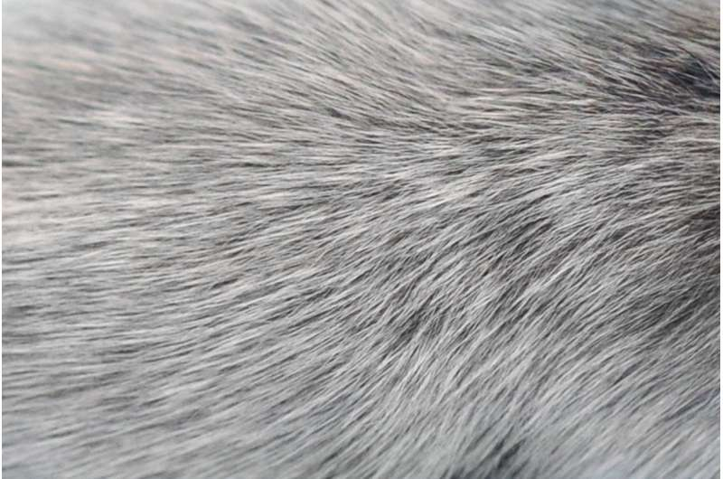New study links gray hair with immune system activity and viral infection