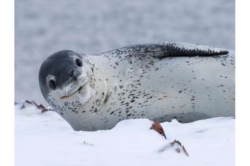 New study provides information on the secret life of an enigmatic Antarctic apex predator