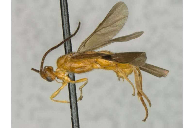 New wasps named after Crocodile Dundee and Toblerone amongst 17 new genera and 29 species