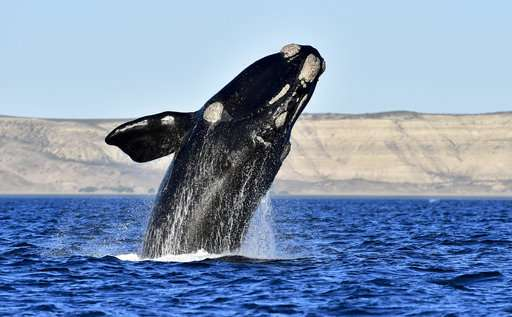 No newborns seen as endangered whale's calving season peaks