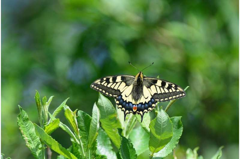 Norfolk's iconic swallowtail butterfly at risk from climate change