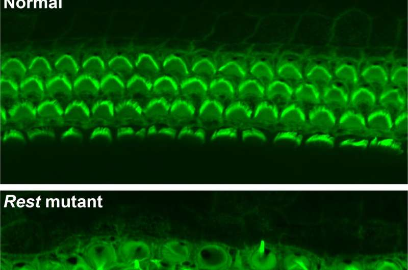 Novel drug therapy partially restores hearing in mice