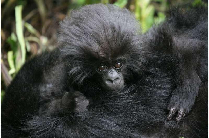 Number of wild mountain gorillas exceeds 1,000