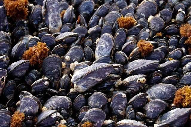 Ocean acidification means major changes for California mussels, FSU researcher says