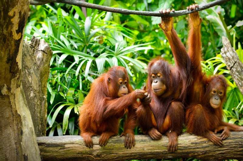 Orangutans can communicate about the past just like humans, new research finds
