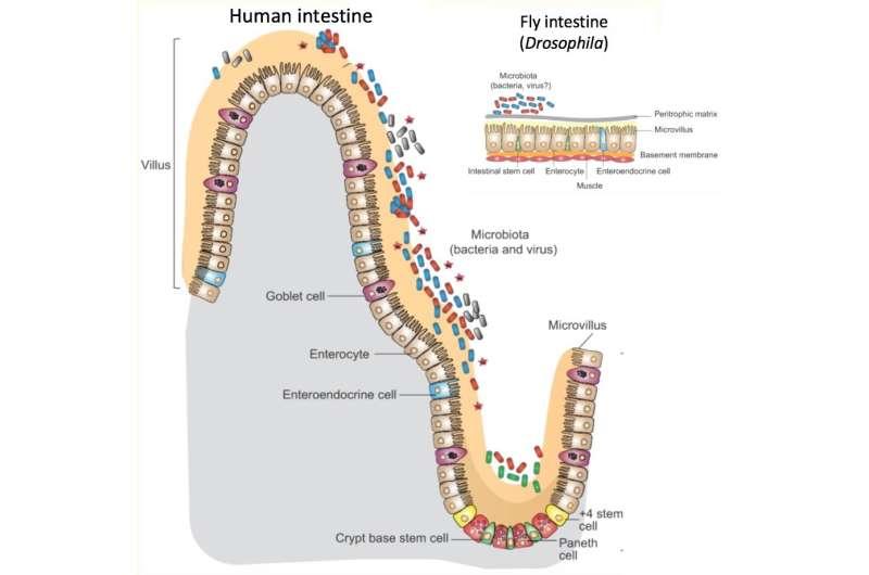 Our intestinal microbiome influences metabolism -- through the immune system