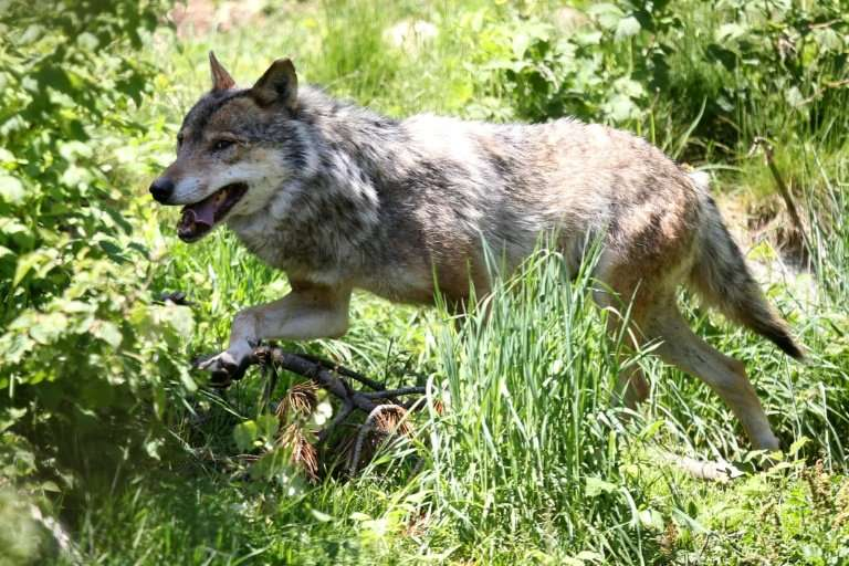 Overhunting, industrialisation and urban sprawl progressively led to the disappearance of the wolf from most of Western Europe s