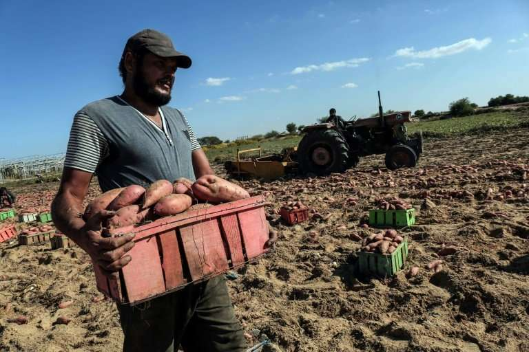 Palestinian farmers harvest sweet potatoes at a farm in Khan Yunis, in the southern Gaza Strip