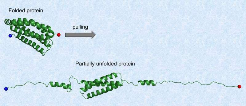 Partial mechanical unfolding may regulate protein function