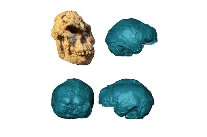 Peering into Little Foot's 3.67 million-year-old brain