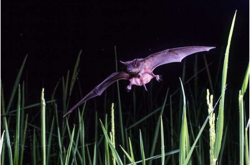 'Pest-controlling' bats could help save rainforests