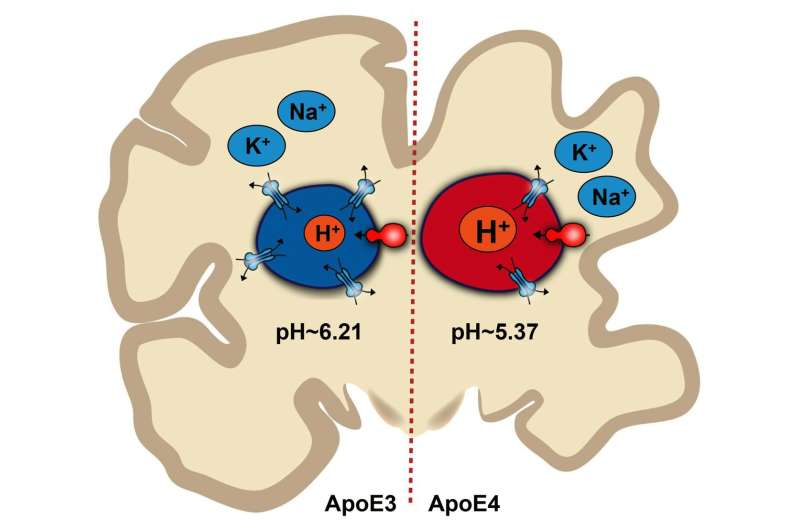 pH imbalance in brain cells may contribute to Alzheimer's disease