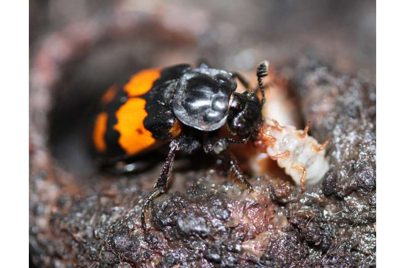 Physical disability boosts parenting effort, beetles study shows