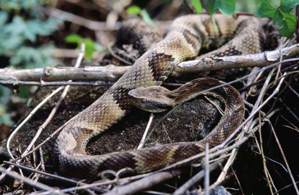 Plant compound found to have therapeutic effect on complications from snakebites