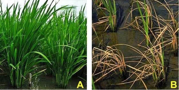 Plant growth-promoting bacteria enhance plant salinity tolerance