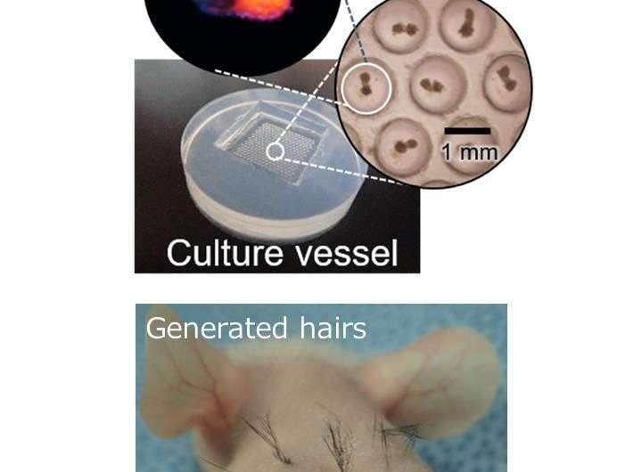 Practical hair regeneration technology