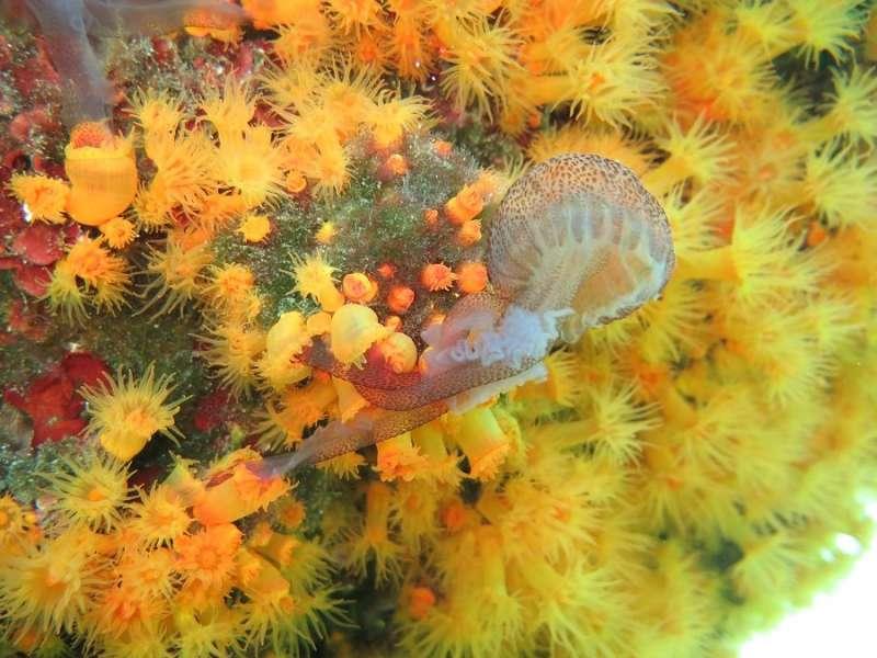 Predatory sea corals team up to feed on stinging jellyfish