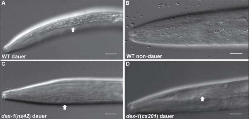 Protein involved in nematode stress response identified